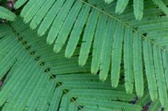 wattle-leaves